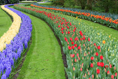 Tulip rows park Royalty Free Stock Image