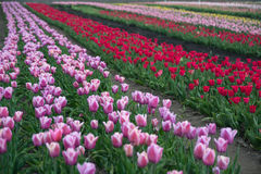 Tulip rows Stock Photo