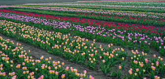 Tulip rows Royalty Free Stock Photography