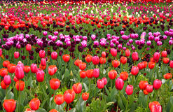 Tulip rows in spring Royalty Free Stock Photography