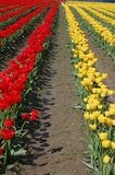 Tulip rows. Yellow and red tulip field, Skagit Valley, WA Stock Photo