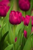 Tulip roxo Imagem de Stock