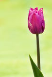 Tulip roxo Fotografia de Stock