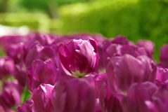Tulip roxo Imagens de Stock Royalty Free