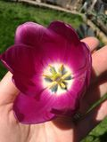 Tulip roxo imagens de stock