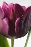 Tulip roxo com orvalho Imagem de Stock