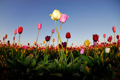Tulip's Kiss. Two Tulips embracing each other in a field of tulips at sunset Stock Images