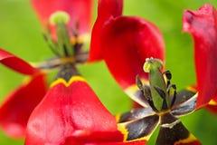 Tulip's wilt Royalty Free Stock Photos