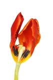 Tulip Section Stock Photo