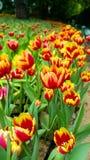 Tulip Set of different color tulip flowers stock photos