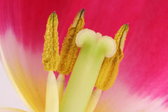 Tulip sex organs Royalty Free Stock Photography