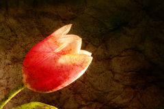 Tulip shine textured background. Grunge aged paper, blossom flower Stock Images