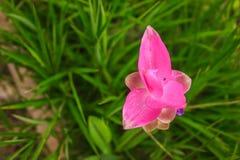Tulip siam. Closeup tulip siam flower in the park Stock Photo