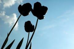 Tulip Silhouette. Against blue sky stock photos