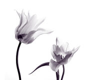 Tulip  silhouettes on white Royalty Free Stock Photography