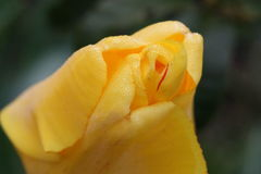 Tulip. Single yellow tulip with dew drops stock photography