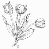 Tulip.Sketch черно-белое. Стоковое Изображение RF