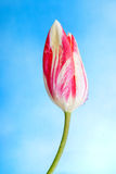 Tulip Sky background Royalty Free Stock Photography