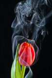 Tulip with smoke. Red tulip with smoke on black background Royalty Free Stock Photography
