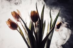 A tulip in smoke. Tulips in smoke and light. another view with close Stock Image