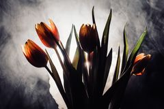 A tulip in smoke. Tulips in smoke and light. another view with smoke Royalty Free Stock Images