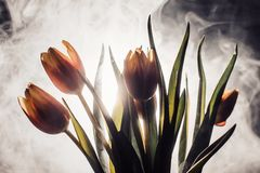 A tulip in smoke. Tulips in smoke and light. another view with smoke and light Royalty Free Stock Photos