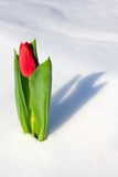 Tulip in the snow. Winter time - Tulip in the snow Royalty Free Stock Photo