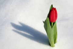Tulip in the snow. Winter time - Tulip in the snow Stock Photography