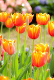 Tulip. Soft focus beautiful blossoming red and yellow tulip Stock Images