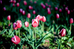 Tulip. Some tulips in the garden Royalty Free Stock Photography