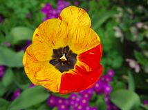 Yellow-red tulip. Tulip with some yellow and some red petals and black centre stock image