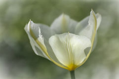 Tulip. Spring, a beautiful white tulip stock photos