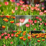 Tulip spring bloom in the gardens Stock Photography