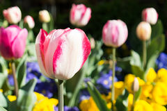 Tulip. Spring tulip blossom in a park Royalty Free Stock Images