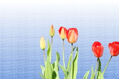 Tulip  spring flower closeup on  sky blue  backgro Royalty Free Stock Images