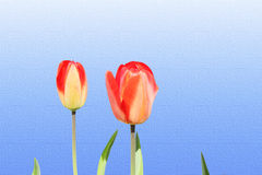 Tulip spring flower closeup on sky blue background Stock Photos