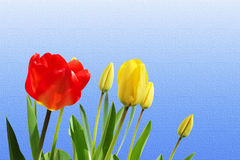 Tulip  spring flower closeup on  sky blue  background Royalty Free Stock Photography