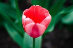 Tulip in the spring Stock Photos