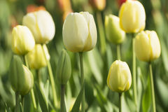 Tulip in spring time. In park Stock Photography