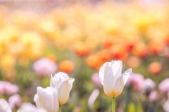Tulip in Spring under sun ray, Beautiful and colourful tulip on Stock Photography