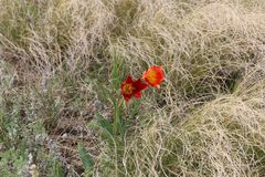 Wild red tulip in the spring. Wild flowers. Naurzum nature reserve. Natural beauty of the steppe. stock illustration