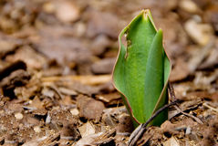 New Tulip Poking out of the Dirt Stock Images