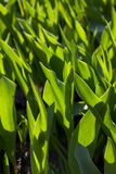 Tulip sprouts Royalty Free Stock Images