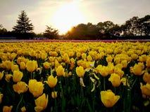 Tulip Square Imagens de Stock Royalty Free