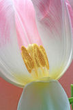 Tulip stamens Stock Photography