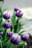 Tulip standout. Purple and white tulips with one standout in the crowd stock photo