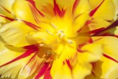 Tulip stigma Stock Images