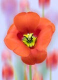 Tulip Stigma and Stamens. Close up view of a tulips Stamen and Stigma Royalty Free Stock Image