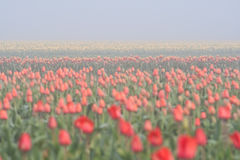 Tulip stripes. Yelow and red tulip field in foggy morning Royalty Free Stock Image