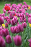 Tulip. Summer day in green Moscow park Russia royalty free stock images